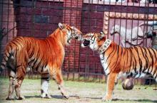Tiikeriveljekset